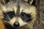 raccoons25