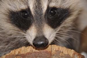 raccoons3