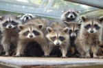 Group of Raccoons