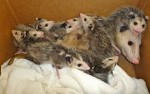 Mom Opossum and her 10 babies!