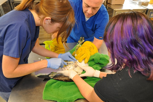 Staff and interns care for the wounded Osprey by administering fluids and antibiotics.