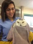 Snowy Owl new