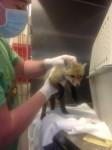 baby fox medical