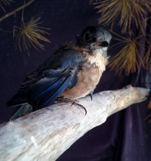 Bluebird Outside PL