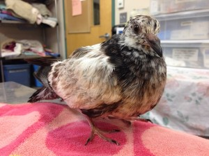 Oil Pigeon 2 PL