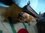little brown bat PL