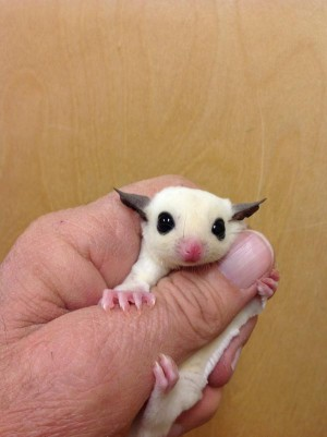 sugar glider not winking