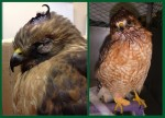 Red Shouldered Hawk Before and After PL
