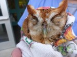 Screech Owl Release Photo
