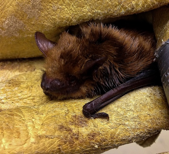 Bat PL