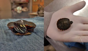 Baby Painted Turtle Combined PL