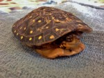 Spotted Turtle 2 PL