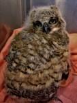 Great Horned Owl 1