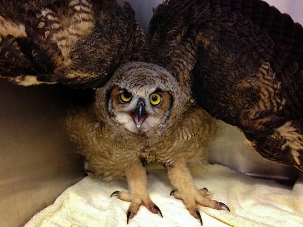 Great Horned Owl Older PL
