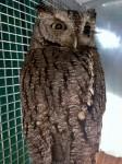 Eastern Screech Owl PL