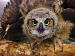 Great Horned Owl Post Infection PL